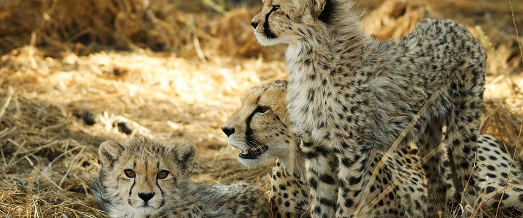 Sun, Spoor & Spots - counting Namibia's cheetahs